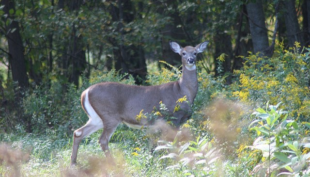 Fatal deer disease found in Canada
