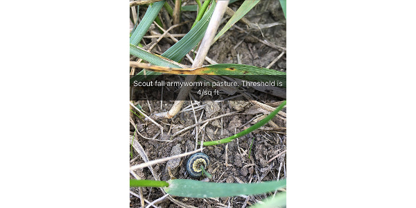 Located in fescue pasture near Lamar on Sept. 5. (Courtesy of University of Missouri Extension)