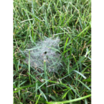 Following some nice fall rains, many homeowners have discovered beautiful webs among the grass blades of their lawn in the morning. (Courtesy of University of Missouri Extension)