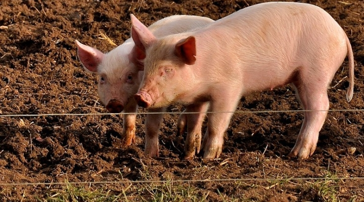 Romania seeks EU funds for African swine fever