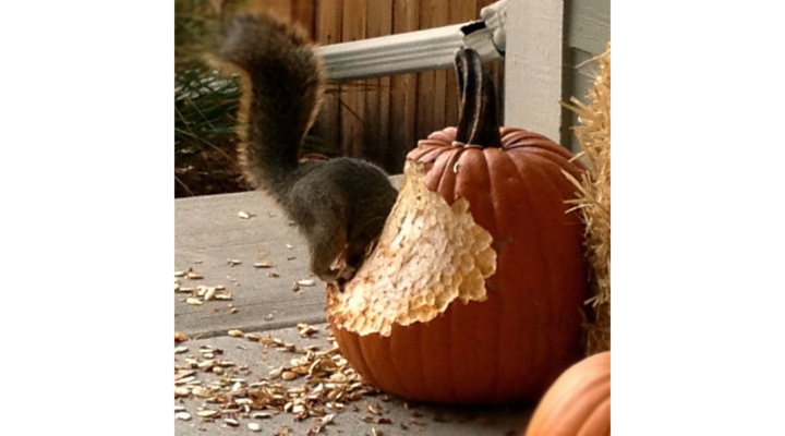 Squirrels chow down on farmers' crops