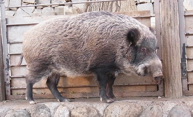 Wild boar found infected in Japan