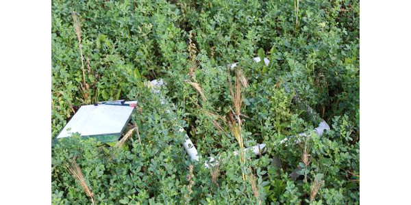 Assessing your alfalfa stand