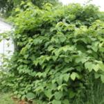 A large Bohemian knotweed plant dwarfs a garage. (Courtesy of Minnesota Department of Agriculture)