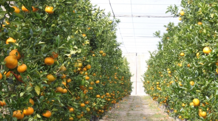 'CUPS' protects citrus from greening, storms