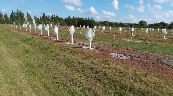 Citrus tree covers keep deadly psyllids away