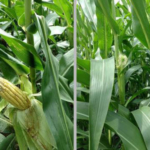 Corn in early grain fill on Aug. 7, 2018, near Lawrence, Michigan. The picture on the right is showing corn at silking in the adjacent field on the same date. (Photo by Bruce MacKellar, MSU Extension)