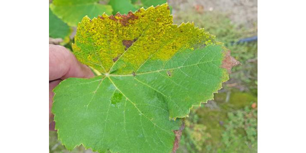 Symptoms of downy mildew sporulation on the upper side of the leaf, photo taken Sept. 18, 2018. (All photos by Mark Longstroth, MSU Extension)