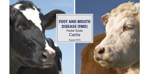 "Foot and mouth disease (FMD), sometimes called ""hoof"" and mouth disease, causes blisters on the feet and in the mouth of cloven-hooved animals (cattle, pigs, sheep, and goats). It does NOT affect public health or food safety. (Courtesy of CLA)"