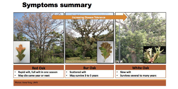 Fig. 4: Disease severity comparing three types of oaks. (Courtesy of Purdue University)