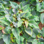 Photo 1. In poinsettia (Euphoria pulcherrima), magnesium (Mg) deficiency symptoms develop in the lower or older leaves as interveinal chlorosis and can work up the plant over time. (All photos by W. Garrett Owen, MSU Extension)