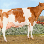 Hilrose Advent Anna-Red EX-94, an eight-year-old Red & White Holstein bred and owned by Hilrose Holsteins of Sherwood, has been named the 2018 Wisconsin Cow of the Year. (Courtesy of Wisconsin Department of Agriculture)