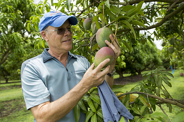 UF researchers seek to develop tastier mangos