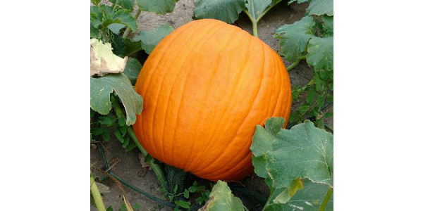 A healthy pumpkin ready for harvest. (All photos by Ben Phillips, MSU Extension)