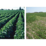 Figure 1. A light-to-moderate SCN infestation (left) can cause slight difference in height on otherwise healthy-appearing plants. Yellow, stunted soybean plants (right) are damaged by a severe SCN infestation. These areas are often circular or oval. (Source: NebGuide G1383)