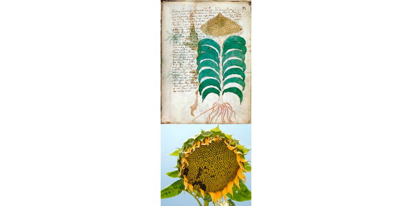 Illustrations of the sunflower and armadillo are viewed by the authors as hard proof of a post-Columbian manuscript. (Courtesy of Purdue University)