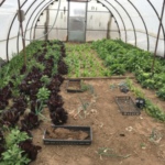 In late March, Svaty's hoophouse featured fresh greens and onions ready for market. (Courtesy of Kansas Rural Center)