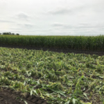 Figure 1. Sweet corn following mechanical harvest, August 15, 2017. No other field operations were performed between harvest and planting rye. (University of Minnesota Extension)