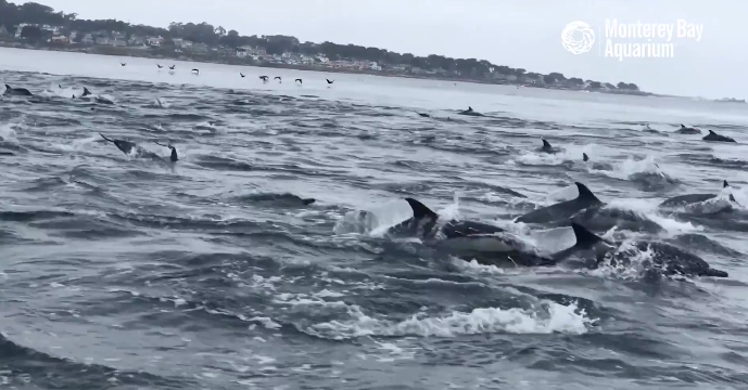 100s of dolphins dash past coast in a magical video of 'superpod'