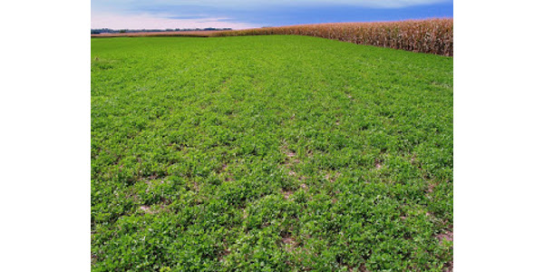 Corn grown after alfalfa usually has increased yield, reduced nitrogen requirement from fertilizer or manure, and reduced pest pressure compared to when corn follows other crops. (Courtesy of University of Minnesota Extension)