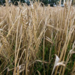 Join W.K Kellogg Biological Station on Oct. 3 at KBS for our semiannual Dessert with Discussion event, which is free and open to the public, and will feature Drs. Freed and Baas. They will share how the 1916 variety of Spartan Barley was brought back to life, how barley fits into Michigan farming, and current research on growing winter and spring barley in Michigan. (All photos by Blaire Bohlen, W.K Kellogg Biological Station)