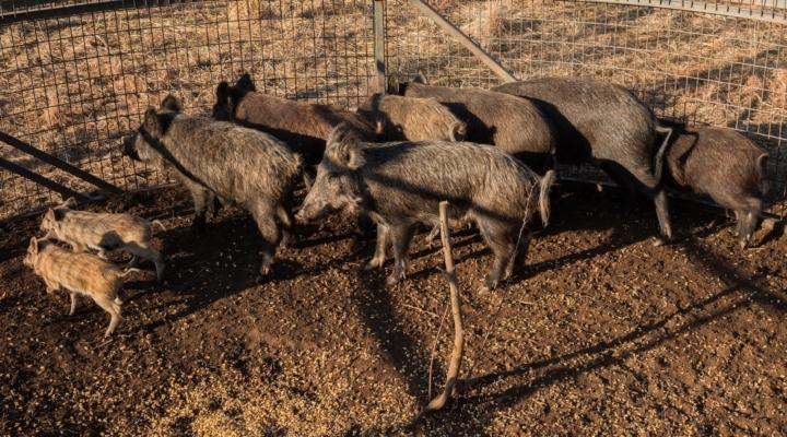 Training focuses on feral hog control methods
