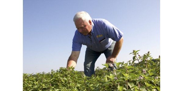 Like his great-grandfather, Richard Gumz raises mint, along with carrots, onions and potatoes, at his farm near Endeavor, Wisconsin. One acre of Wisconsin mint supplies enough mint flavoring for 50,000 to 80,000 tubes of toothpaste. (Photo: David Tenenbaum)
