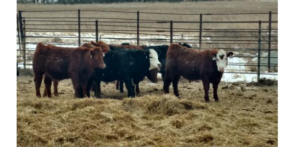 20th Annual Dakota Feeder Calf Show Feedout Morning Ag Clips