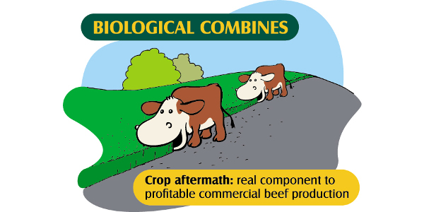 Crop aftermath: real component to profitable commercial beef production - Biological Combines. (Courtesy of NDSU)