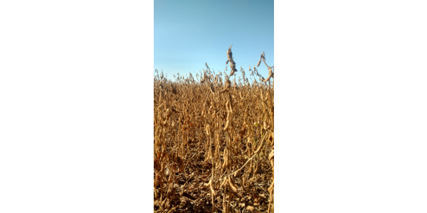 Soybeans may be viable cattle feed option