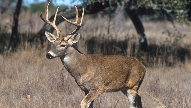 Deer a potential host for Rift Valley Fever