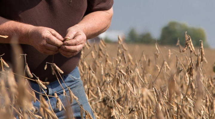 Louisiana soybeans devastated for 2nd year