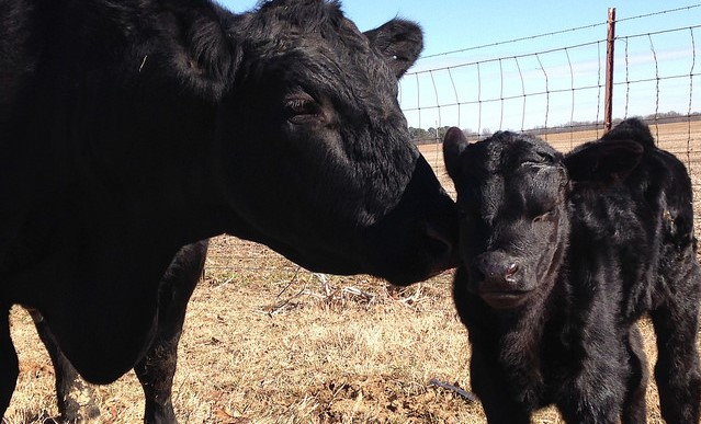 Top 10 Angus breeders in New York