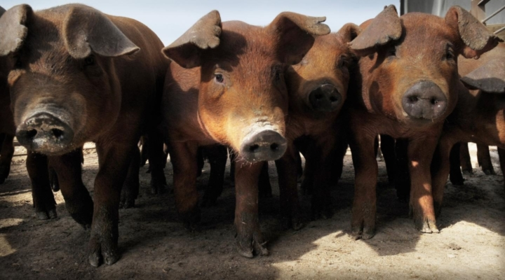Preventing a US outbreak of African swine fever