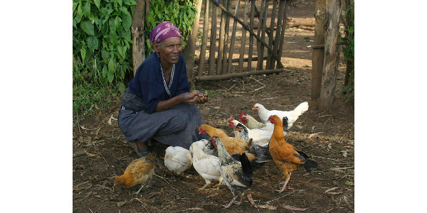Diversity key to sustainable chicken farming