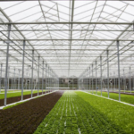 Revolution Farms, one of the largest indoor aquaponics farms in the United States, announced it harvested its first crop of ultra-fresh lettuce for retail sale. (Courtesy of Revolution Farms)