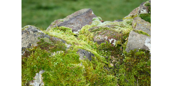 Moss rapidly detects, tracks air pollutants