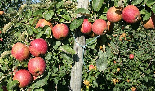 Great Maine Apple Day