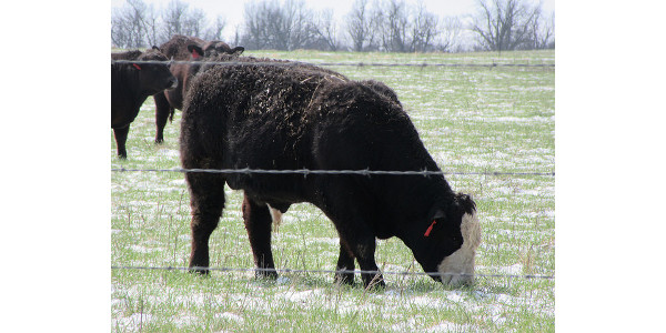 Use genomic technology to speed the improvement in your herd. (Courtesy of University of Missouri Extension)