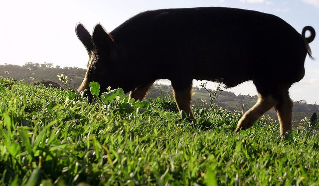 Warrant that led to exhuming pigs challenged