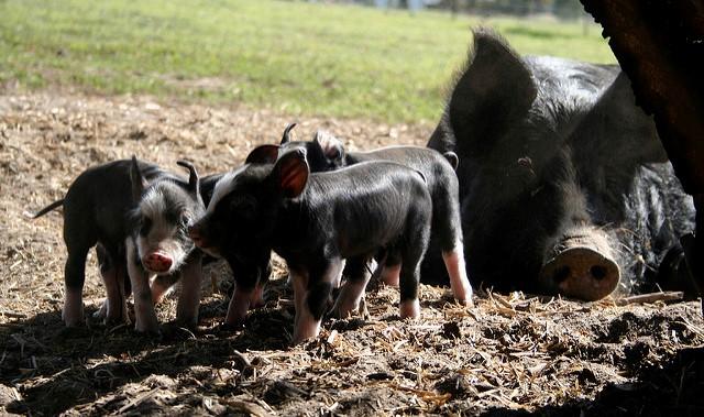 Turkey, piglet stolen from family farm
