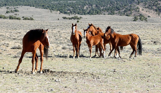 1,000 wild horses to be rounded up in NorCal