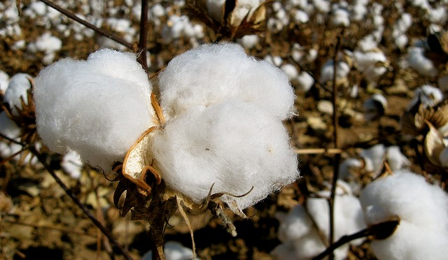 USDA approves cottonseed genetic process
