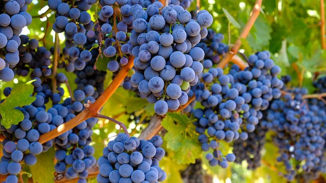 Napa winery rejects 2,000 tons of Oregon grapes