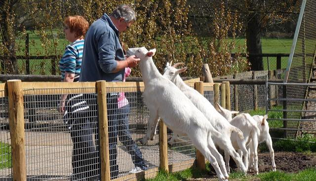 Oklahoma yoga event featured goats