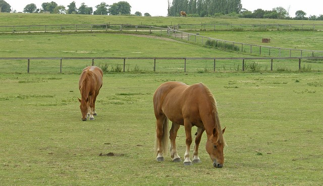Man cares for rare horse breed