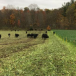 The Michigan State University Extension cover crops team will host two cover crop field walks in October 2018 focusing on cover crops as forages, grazing and soil health. (Courtesy of MSU Extension)