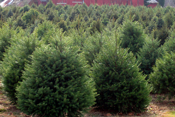 NJDA encourages purchase of N.J. Christmas trees | Morning Ag Clips