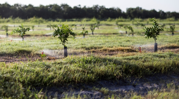 HLB-infected trees may benefit from full irrigation