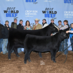The Supreme Champion Cow/Calf Pair was a Percentage Simmental exhibited by Kylee Fields – Adcock Land and Livestock, Moweaqua, IL. (Courtesy of World Beef Expo)